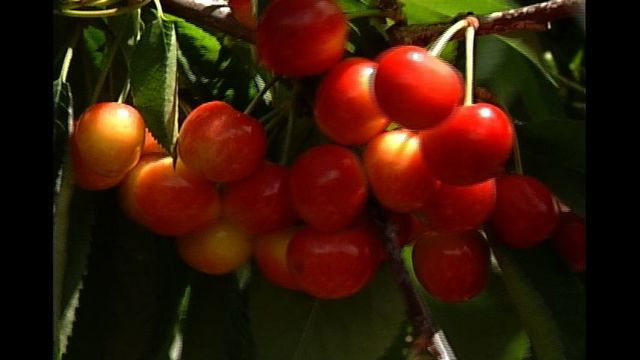 Winds Causing Some Problems for Cherry Growers