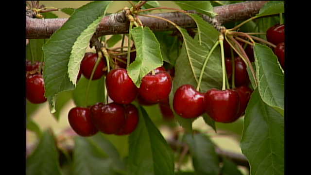 Large Cherry Crop Forecasted