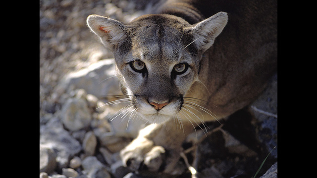 Neighbors Report Possible Cougar in Badger Mountain Area