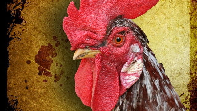 Cock Fighting Ring Suspects Released