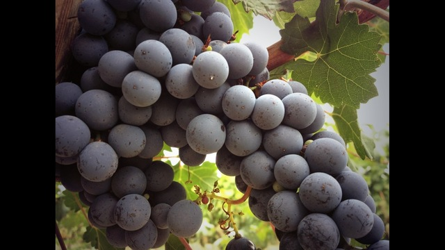 Hot Weather A Good Thing for Wine Grape Growers