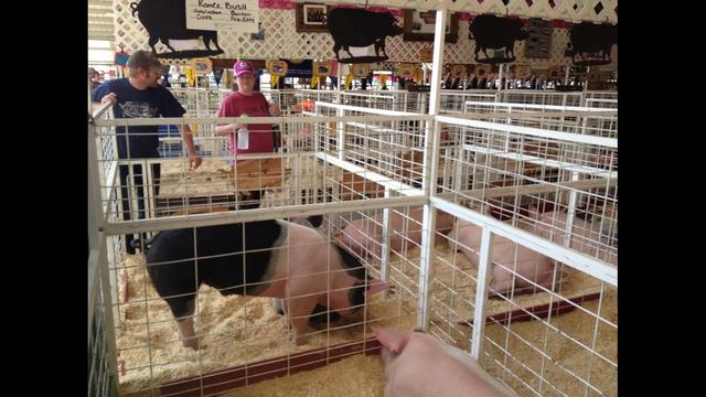 Livestock Auctions at the Fair