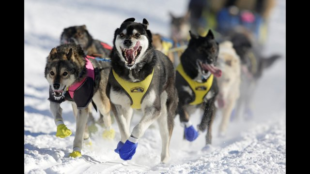 Alaska race dog may have overheated, died on plane
